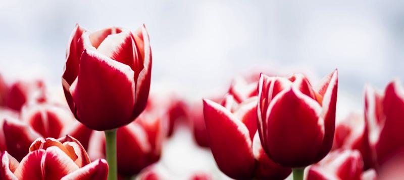 Tulips, Depositphotos